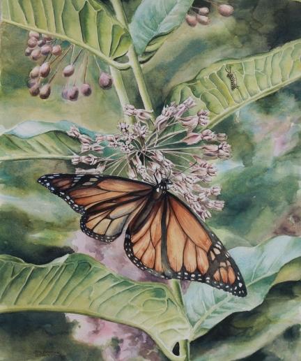 Monarch on Milkweed2